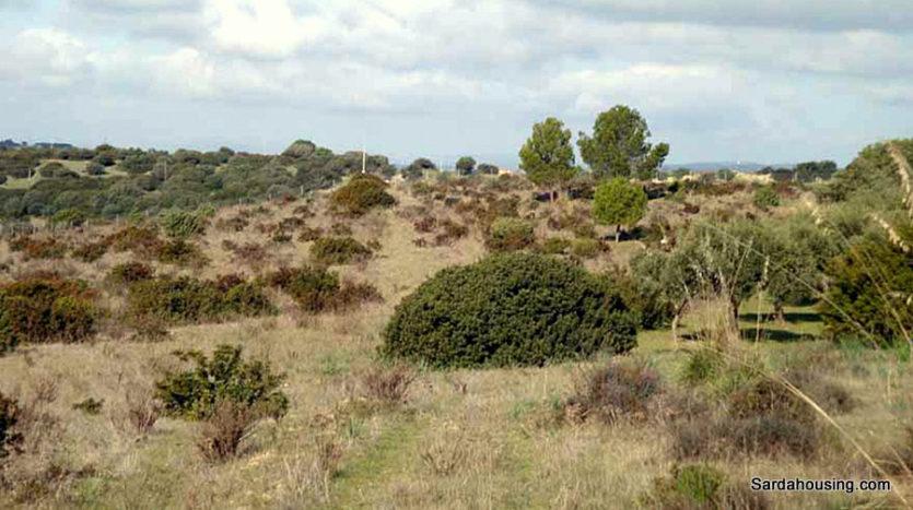 piante di olivo terreno sa misa