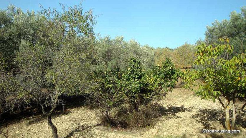 piante di arance terreno sa misa